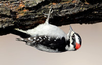 Downy Woodpecker foraging upside down, Yakima, Washington
