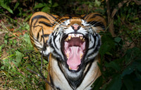 Female tiger yawning, Kanha National Park, India