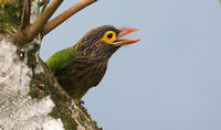 Brown-headed Barbet, Sinharaja Forest Reserve, Sri Lanka