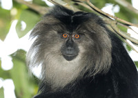 Lion-tailed Macaque, Silent Valley National Park, Kerala, India