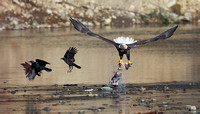 Bald Eagle with fish and crows, Cowlitz River, Washington
