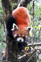 Red panda descending tree, Singalila National Park, India