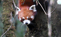 Red panda up close(2), Singalila National Park, West Bengal, India