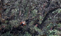 Red panda in tree, Singalila National Park, West Bengal, India