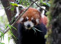 Red panda eating bamboo, Singalila National Park, West Bengal, India