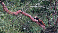 Red panda on tree limb, SIngalila National Park, West Bengal, India