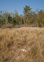 Tiger asleep in meadow, Kanha National Park, Madhya Pradesh, India