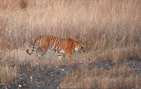 Male tiger walking in meadow, Kanha National Park, Madhya Pradesh, India