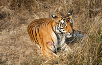Wounded tiger in meadow, Kanha National Park, India