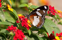 Danaid Eggfly butterfly (Hypolymnas misippus) feeding on lantana flowers, Gujarat, India
