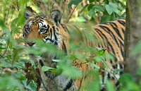Tiger in dense jungle, Kanha National Park, India