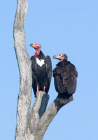 Red-headed Vultures (adult and immature), Kanha National Park, India