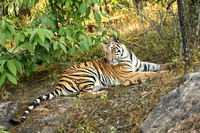 Tiger looking around, Bandhavgarh National Park, India