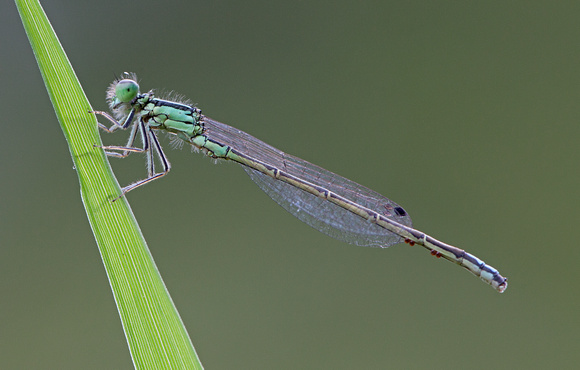 Western Forktail (Ischnura perparva), Packwood, Washington