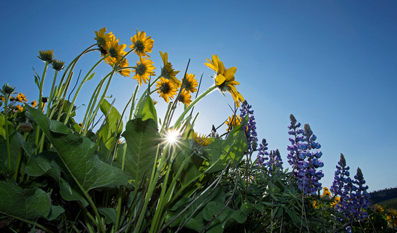 Arrowleaf balsamroot and lupine flowers with sunstar, Waterworks Canyon, eastern Washington