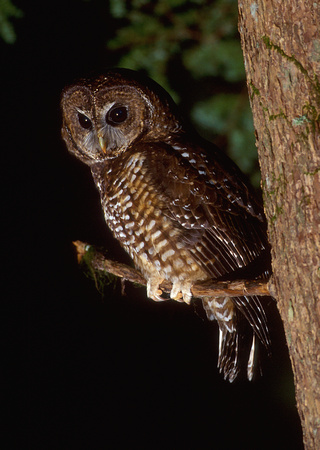 Northern Spotted Owl at night, western Washington