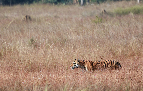 Male Tiger walking in meadow, Kanha National Park, India