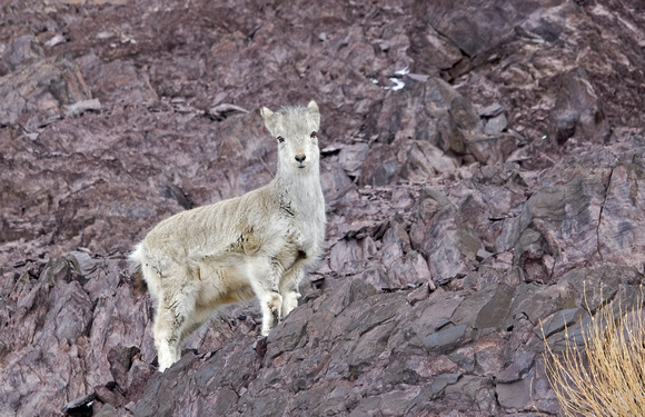 "Bharal (""Blue Sheep"") young, Hemis National Park, Ladakh, India"