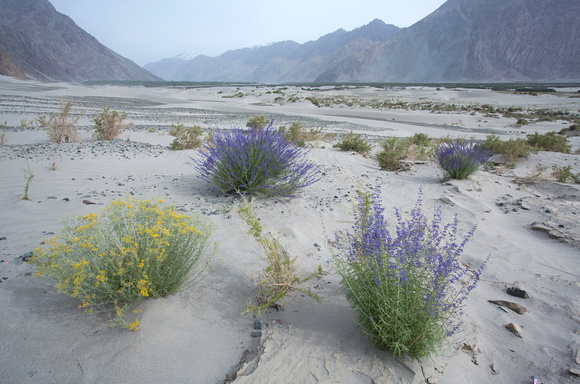 Flowering shrubs and sand dunes, Nubra Valley, Ladakh, India