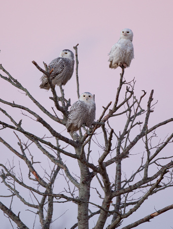 Snowy Owls in dead tree at sunrise, Washington coast