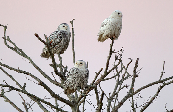 4 Snowy Owl trio in dead tree, Washington