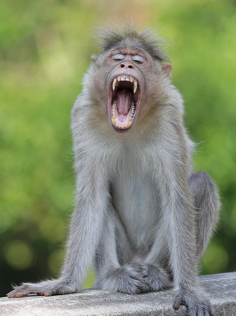 Bonnet macaque yawning, Kerala, India