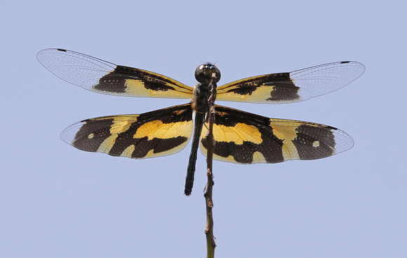Common Picturewing (Rhyothemis variegata) dragonfly, Kerala, India