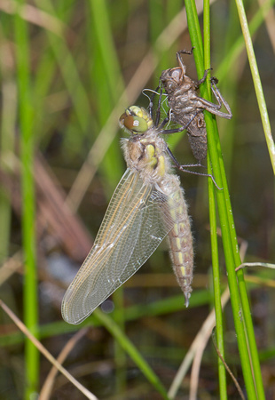 Four-spotted Skimmer (Libellula quadrimaculata) newly emerged with exuviae, eastern Washington