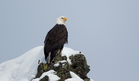 Bald Eagle on snowy rock perch, eastern Washington