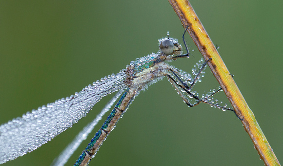 Dewy Emerald Spreadwing (Lestes dryas), Gifford Pinchot National Forest, Washington