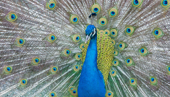 Male Indian Peafowl displaying, India