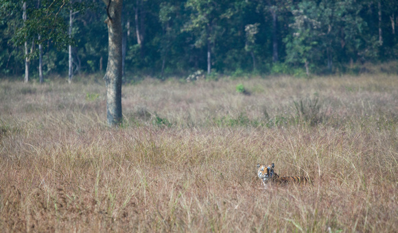 Tiger in meadow, Kanha National Park, Madhya Pradesh, India