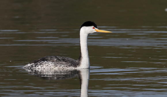 Clark's Grebe, Lind Coulee, Washington