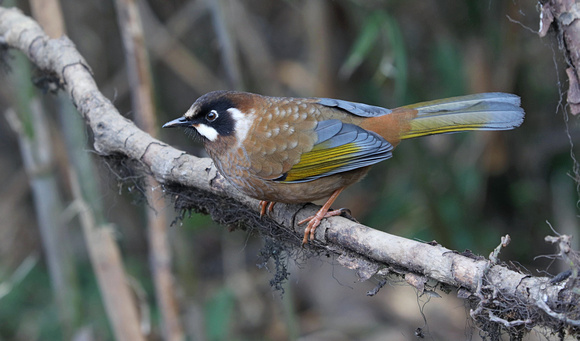 Black-faced Laughingthrush, Singalila National Park, West Bengal, India