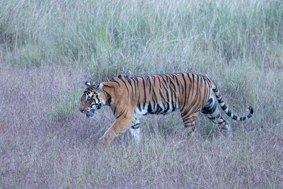 Female tiger crossing meadow, Kanha National Park, India