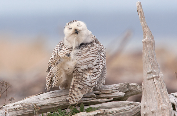 Snowy Owl preening, Washington coast