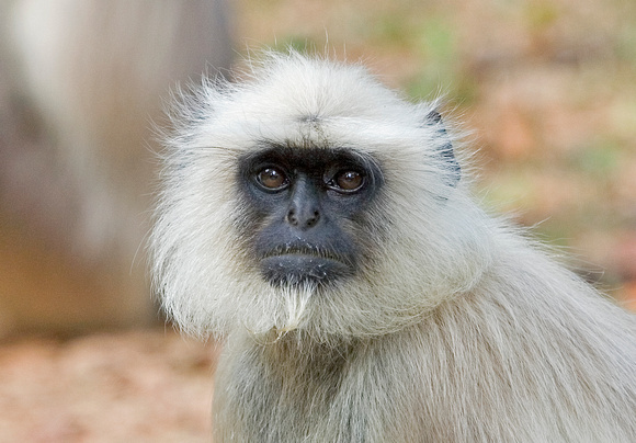 Northern plains gray langur (Semnopithecus entellus), Kanha National Park, Madhya Pradesh, India