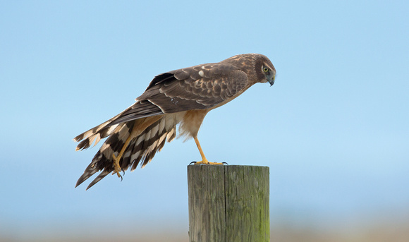 Northern Harrier female stretching, Skagit Flats, Washington