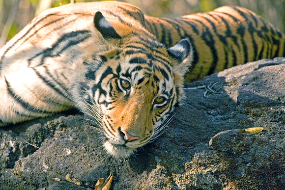 Female tiger on rock, Kanha National Park, India