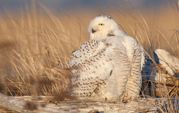 Snowy Owl fluffed up, Washington coast