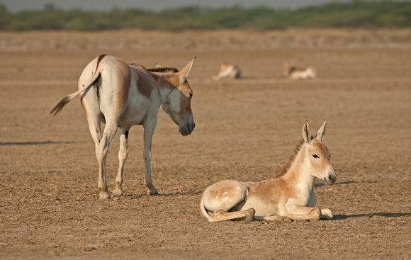 Indian wild ass young with mother, Dhangadra Wild Ass Sanctuary, Gujarat, India