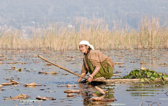 Woman harvesting aquatic plants, Dal Lake, Kashmir, India