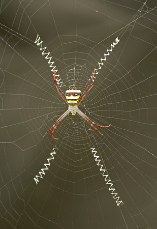 Orb web spider (Argiope sp.), Kanha National Park, India