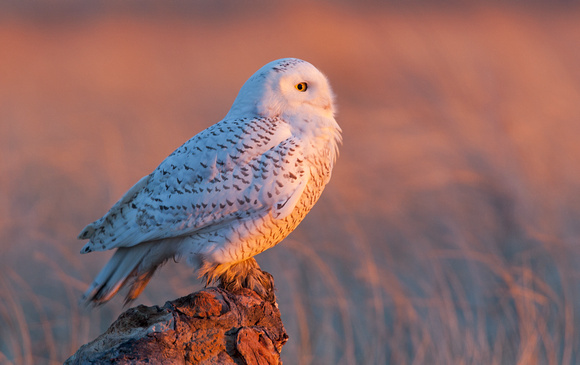 Snowy Owl at sunrise, Washington coast