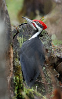Pileated Woodpecker, Packwood, Washington