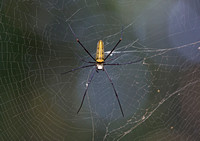 Giant Wood Spider (Nephrila pilipes), Kanha National Park, India