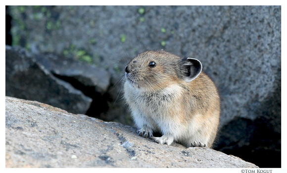 American pika, Frozen Lake trail, Mt. Rainier National Park