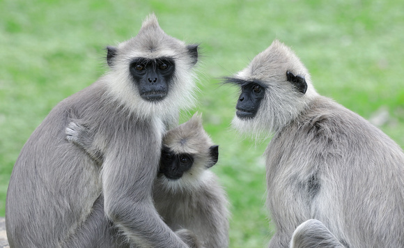 Tufted Gray Langurs, Sri Lanka