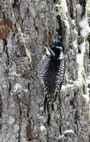 American Three-toed Woodpecker female, White Pass, Washington