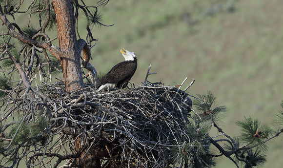 Bald Eagle calling at nest, Yakima River, Washington